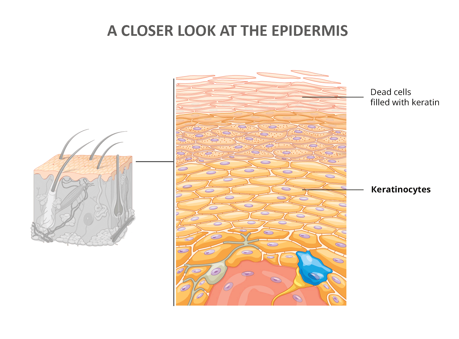 A Closer Look at the Epidermis - Kertatinocytes