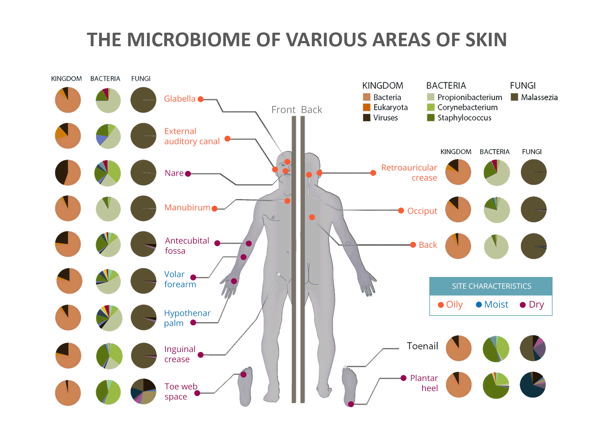 The Microbiome of Various Areas of the Skin - Microbial and Fungi Communities and Skin Characteristics
