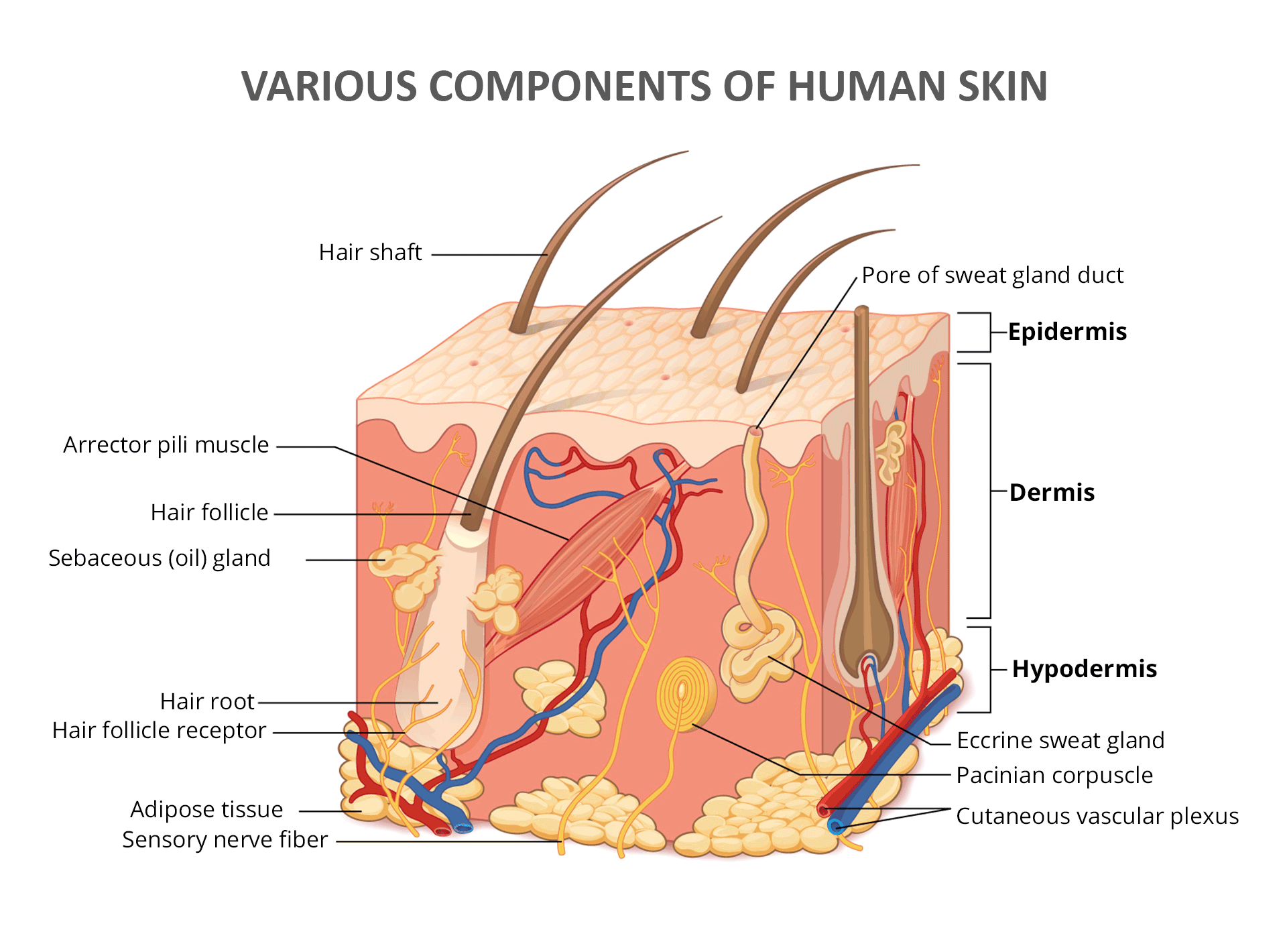 The Structure of Human Skin - Epidermis, Dermis, Hypodermis