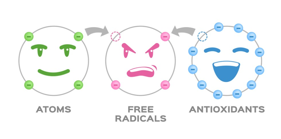 Illustration showing how antioxidants protect us from free radicals
